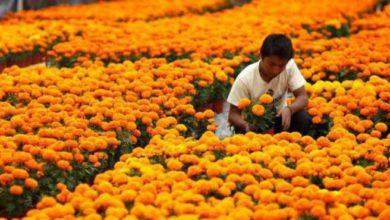 sector florícola en riesgo por pandemia