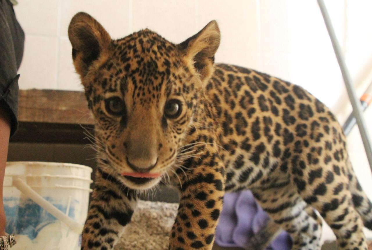 Jaguar bebé en Ecatepec